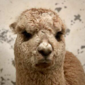 Alpaca cria called Stix at weaning time
